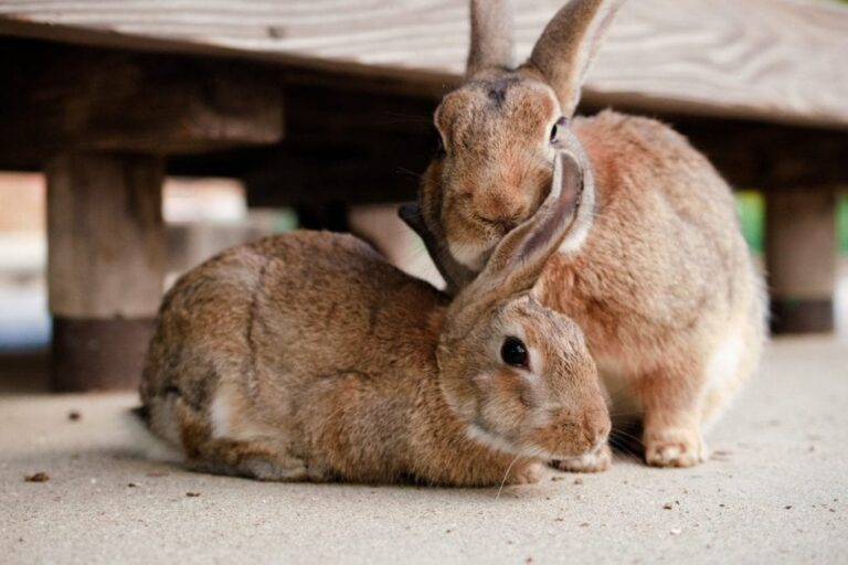 RWAF rabbits